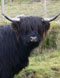 The drovers of the Scottish Highlands are among those people in history who did not inThe Highland Cattle Drovers