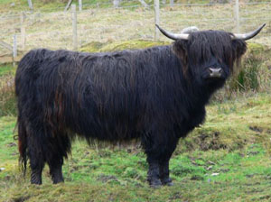 Similar type of breed to the Drovers Cattle