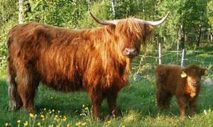 Colour of the Cattle typical of the Breed today.